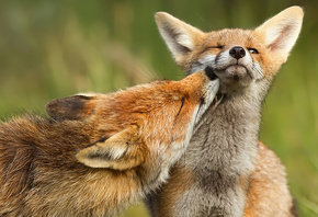 red, caresses, wild, forest fox