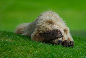bear, claws, grass, playing