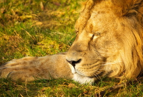 sleeping lion, wild, king