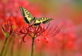 butterfly, background, flowers