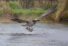 take-off, the rise, osprey, predator, squirt, fish, bird, catch