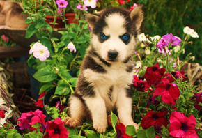 Husky, blue eyes, cute, animals, dogs