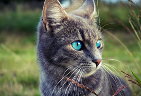 cats, Blue, Eyes