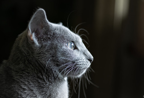 cat, dark, Russian Blue