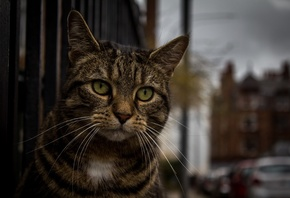 American, Wirehair, Cat