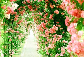 pink, roses, alley, tunnel of roses