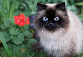 Siamese cat, pets, cat, with, blue, eyes