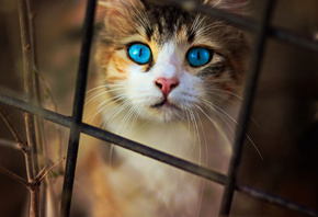 Cat, Blue, Eyes