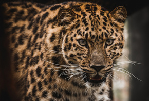 The Amur, leopard, predator, animal