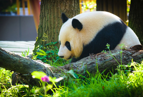 panda, big white black bear, forest, cute animals, панда
