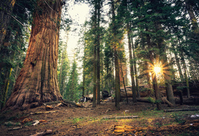 Лес, Sequoia, National Park, Калифорния, Деревья, Лучи света, Природа