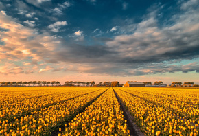 yellow tulips, tulip field, sunset, evening, summer, wildflowers, tulips