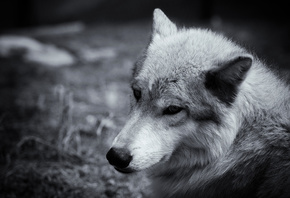 wolf, wolves, monochrom