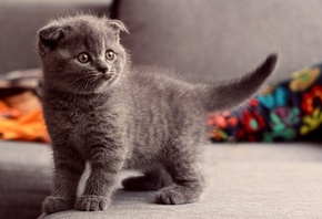 cat, Scottish Fold, Animals