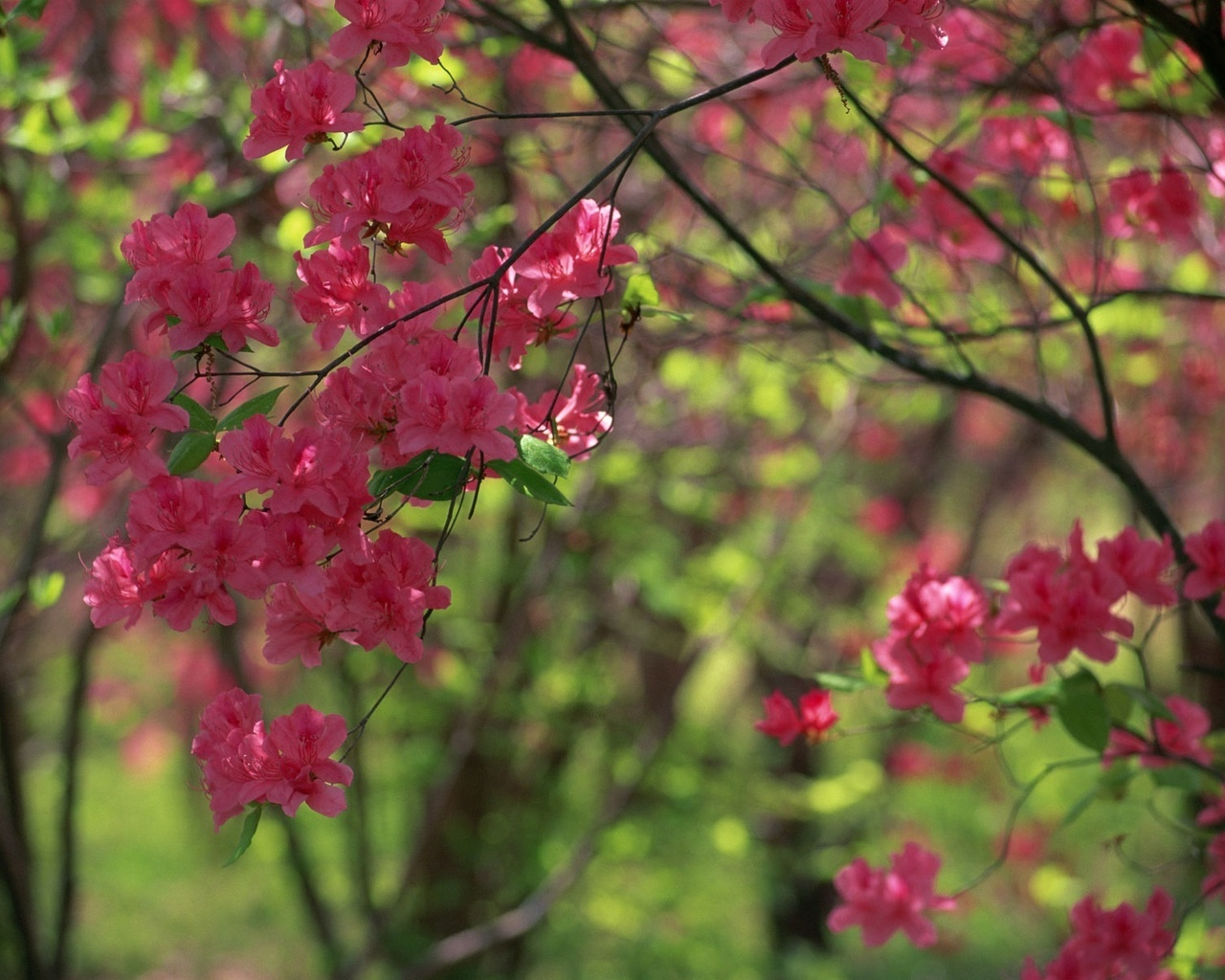 розовый, алый цвет, весенние краски, природа, природа, природа