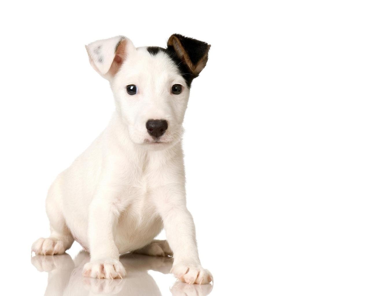 щенок, белый, коричневое ухо