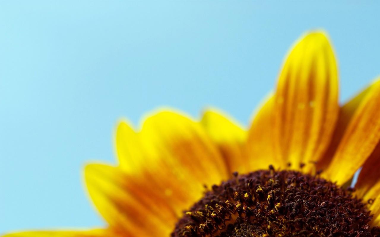 желтые лепестки, подсолнух, небо