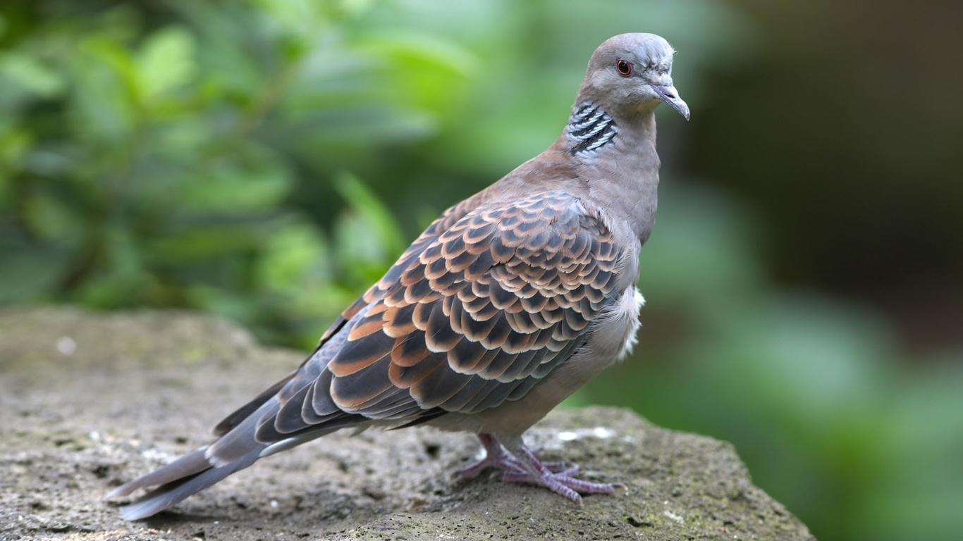 декоративный голубь, природа, камень