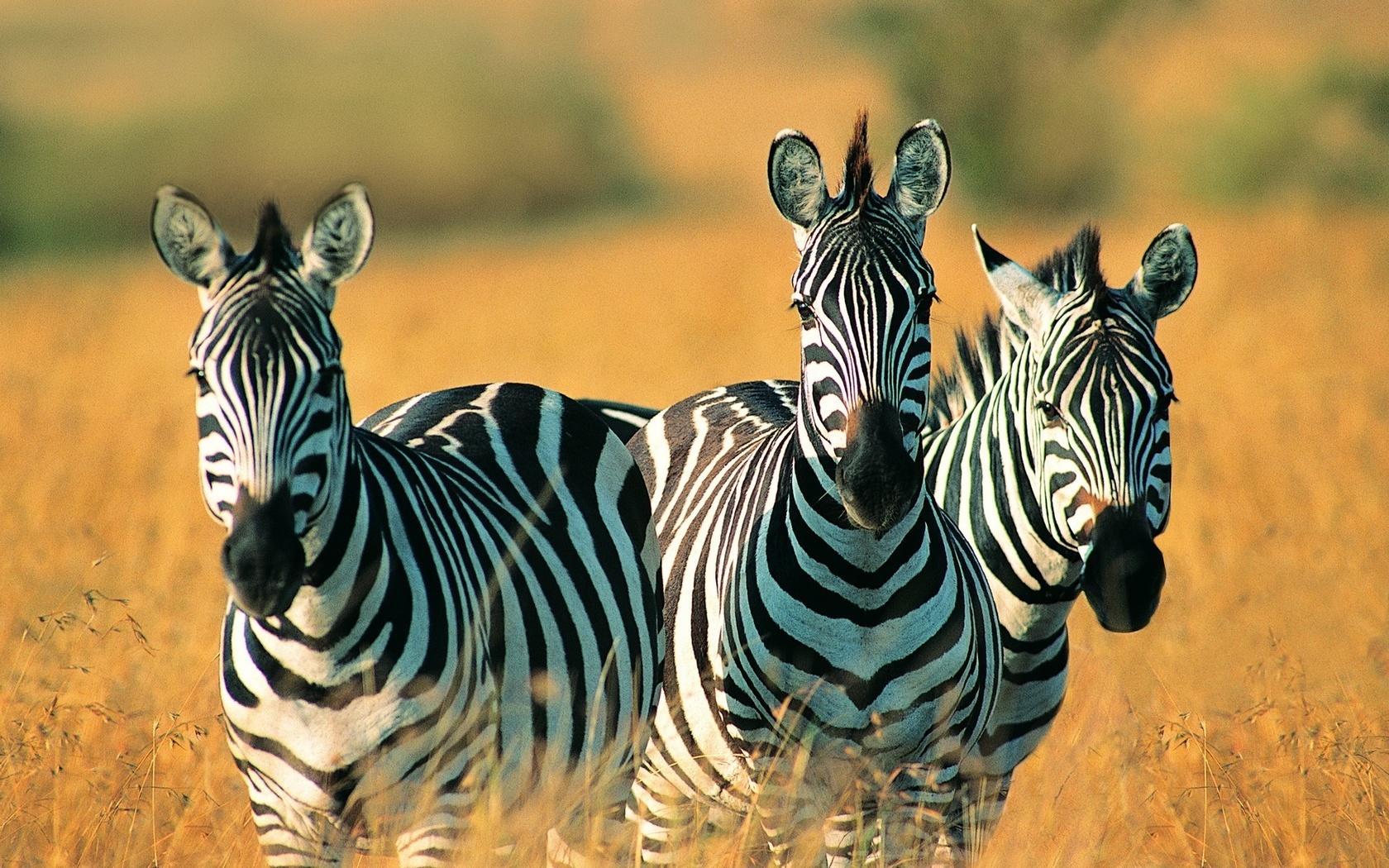 зебры, полосатые красавцы, поле