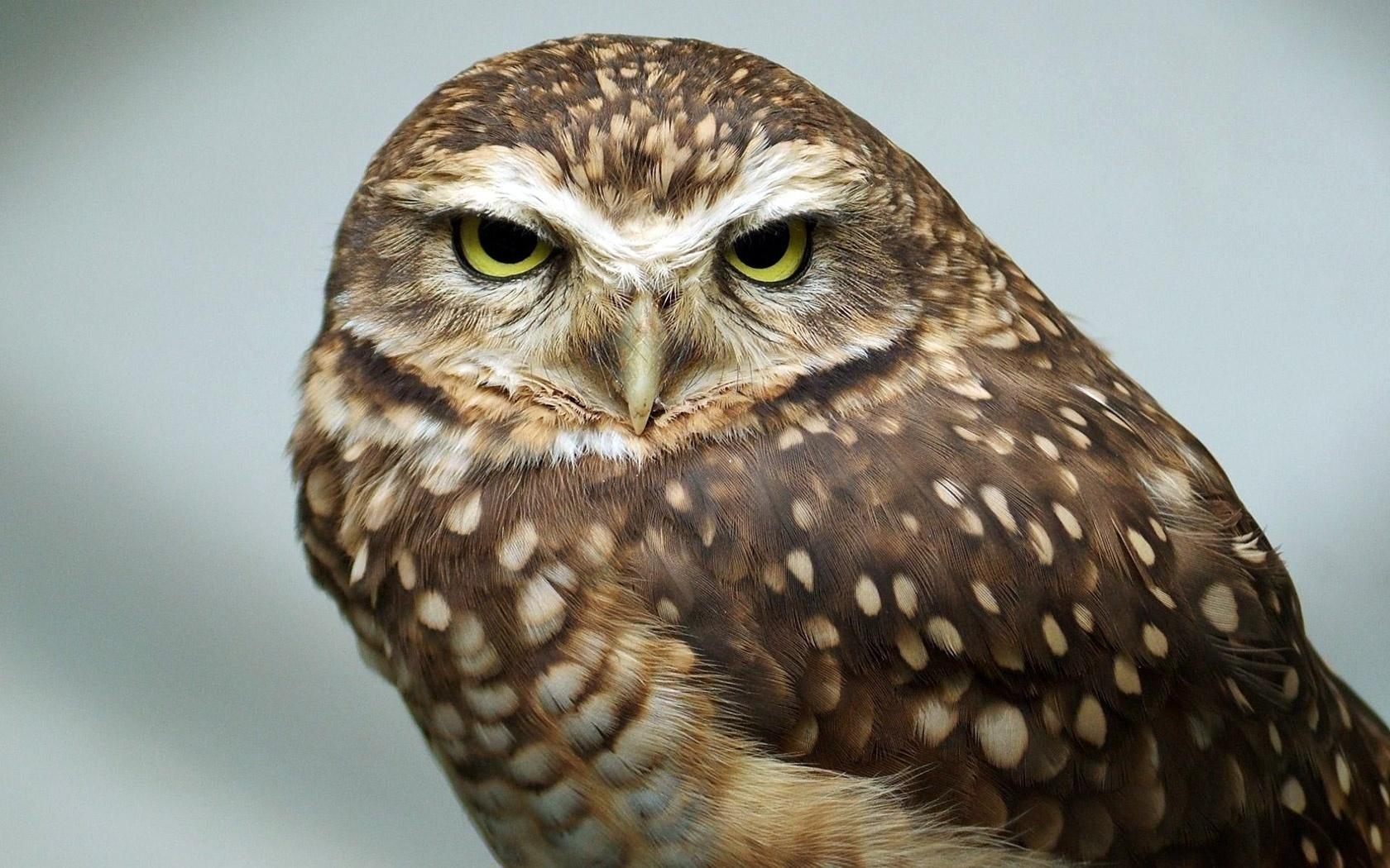желтые глаза, сова, принебрежение, owl,bird,predator