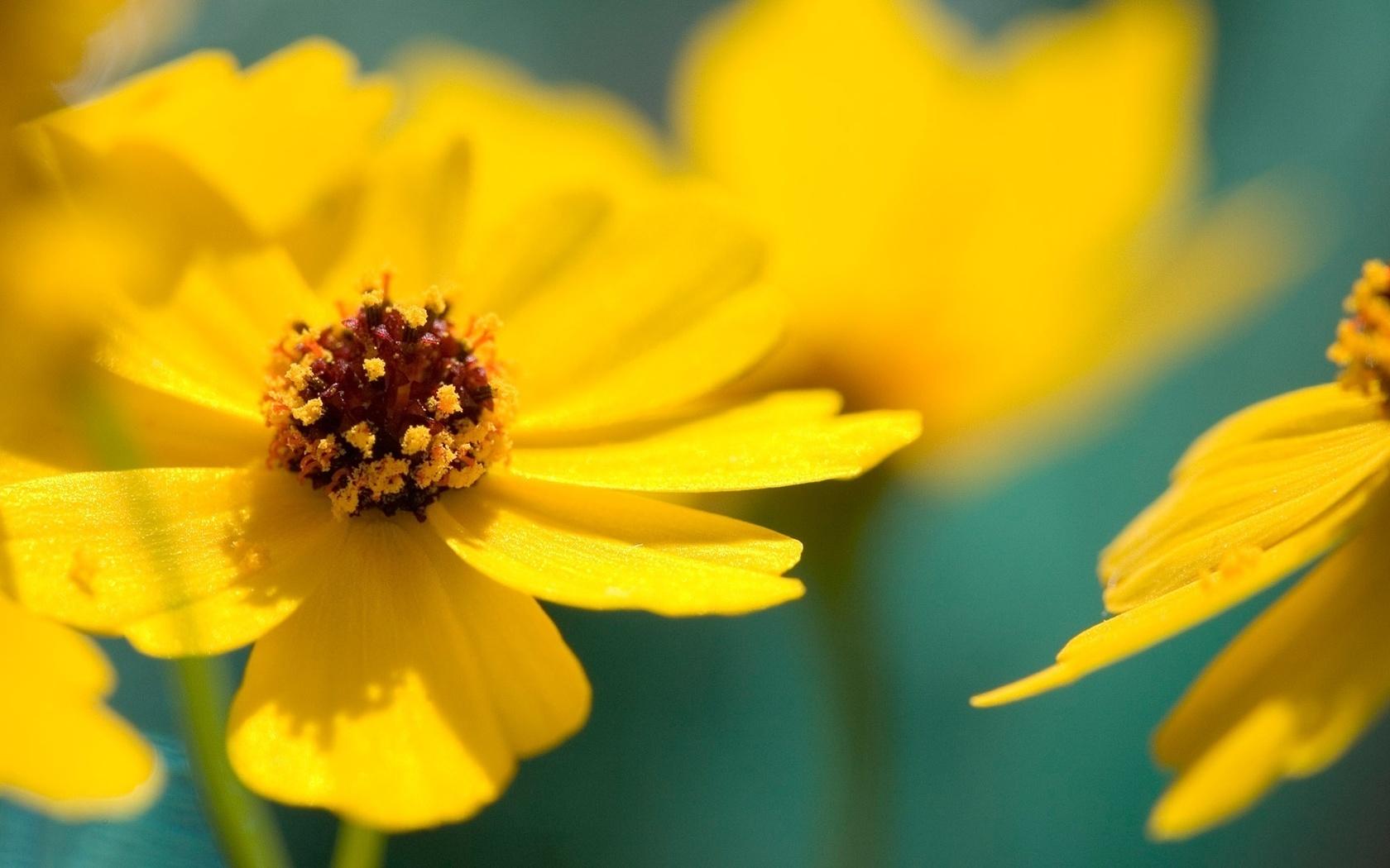 желтые лепестки, цветочки, макро