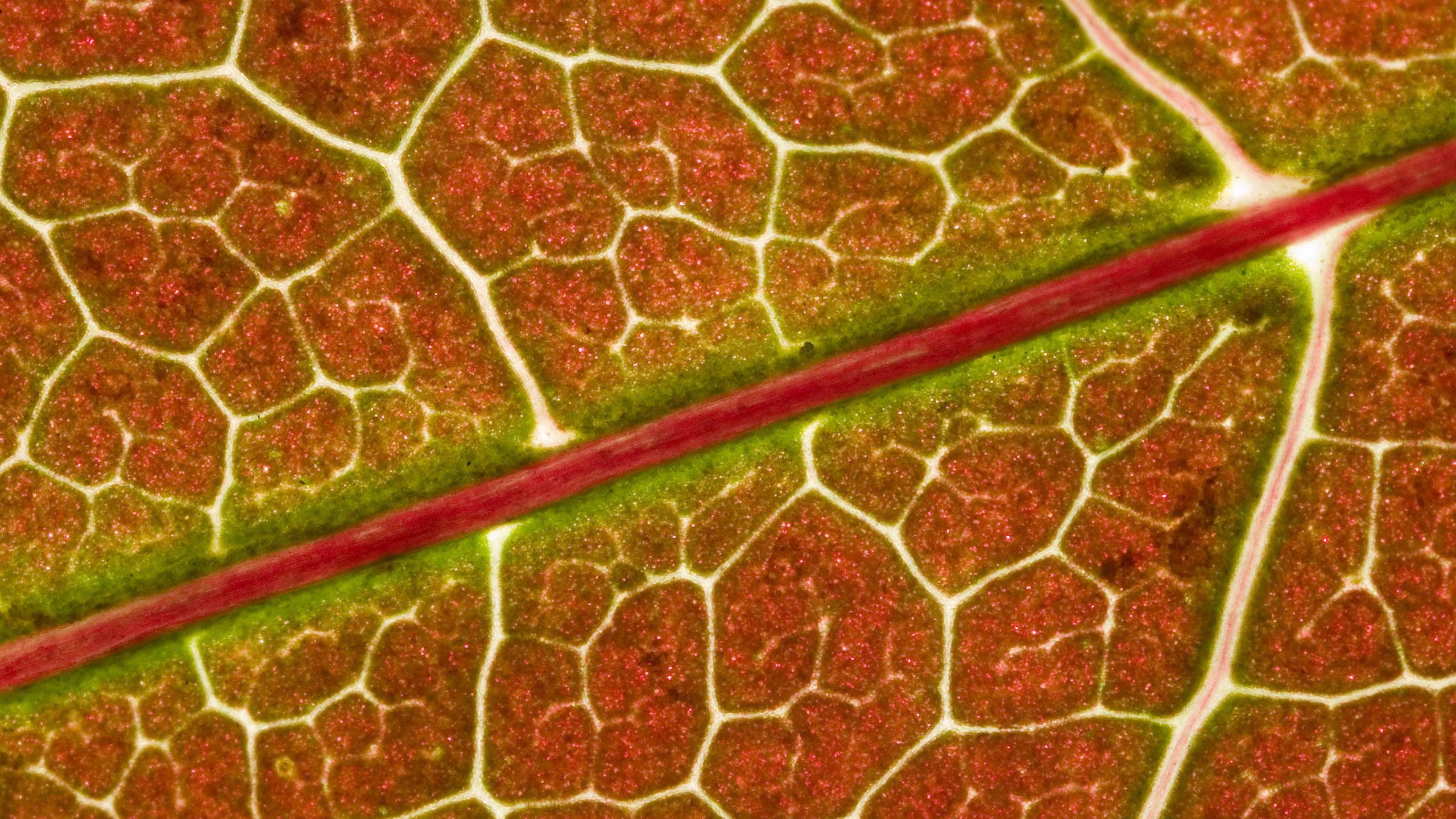прожилки, листок, под мекроскопом