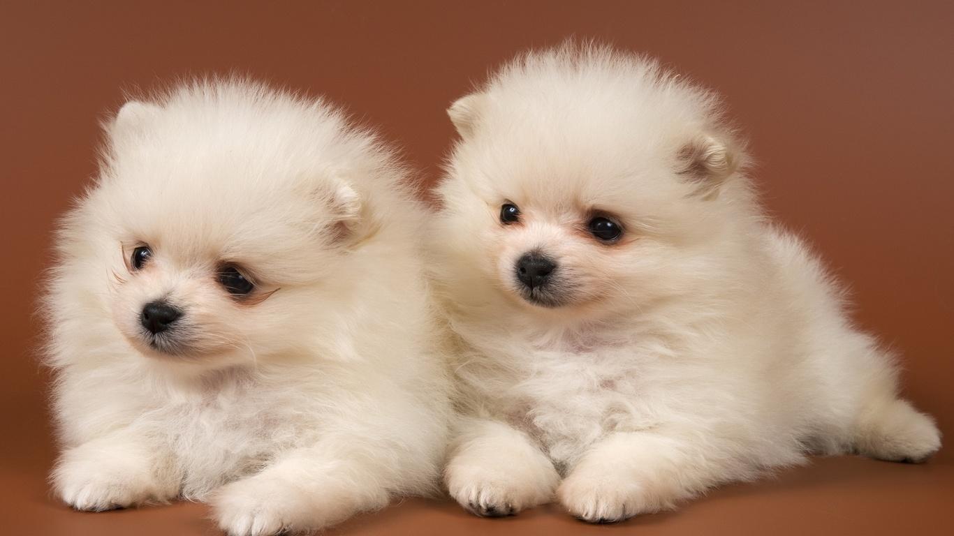 пушистые комочки, белоснежного цвета, маленькие щенки