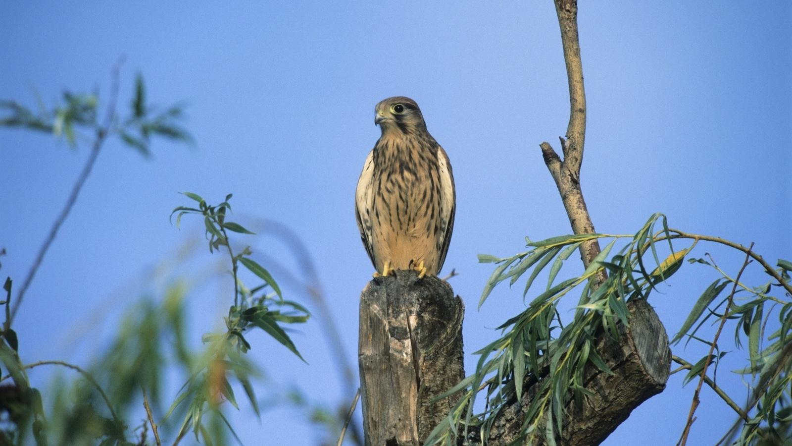 дерево, веточка, охотничья птица