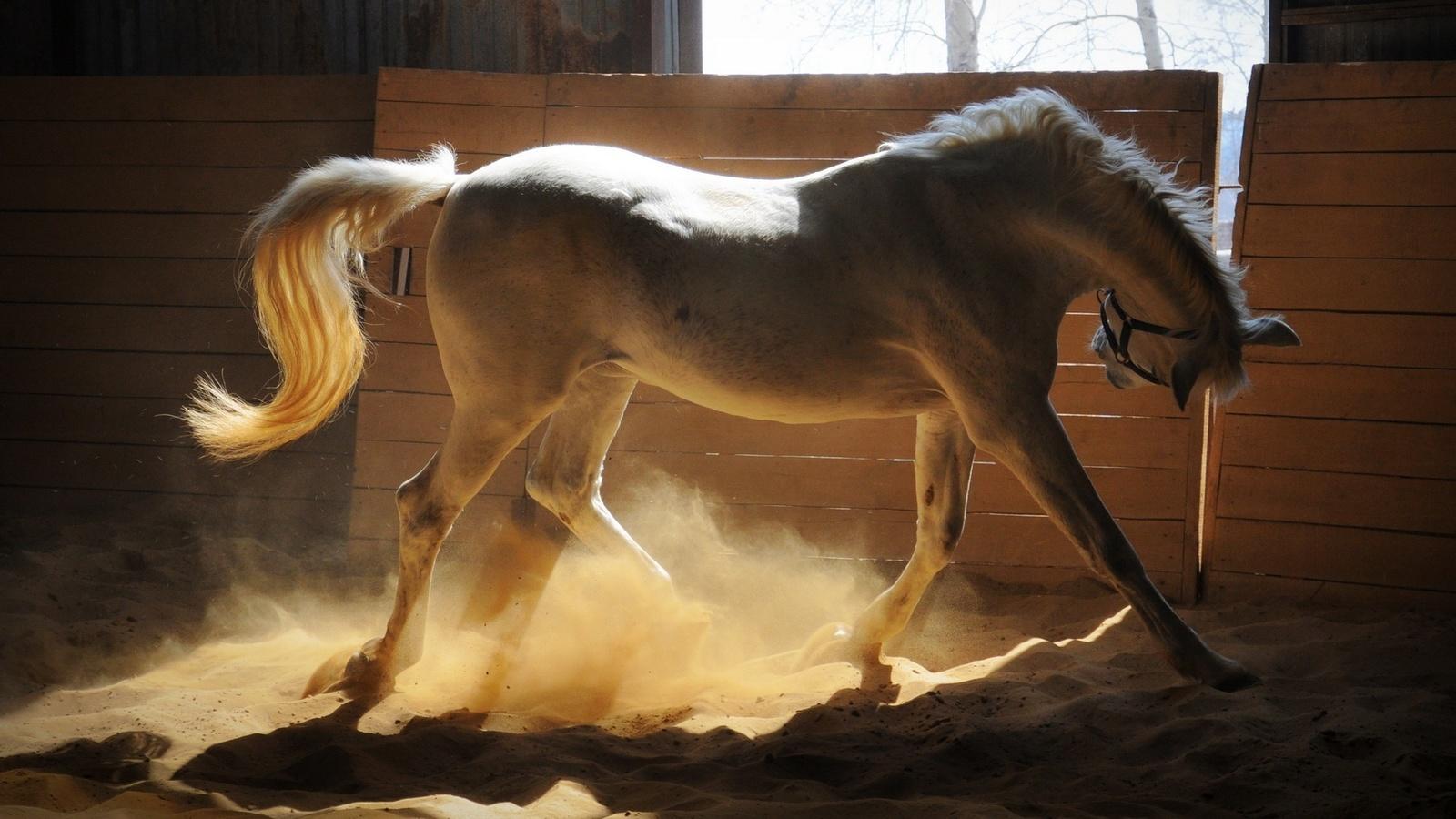 белая лошадка, играет в стойле, пыль