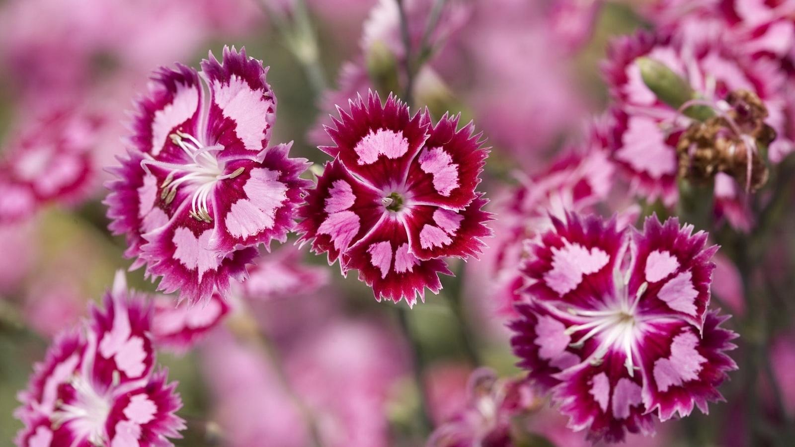 полевые цветочки, розовые лепесточки, белая серединка