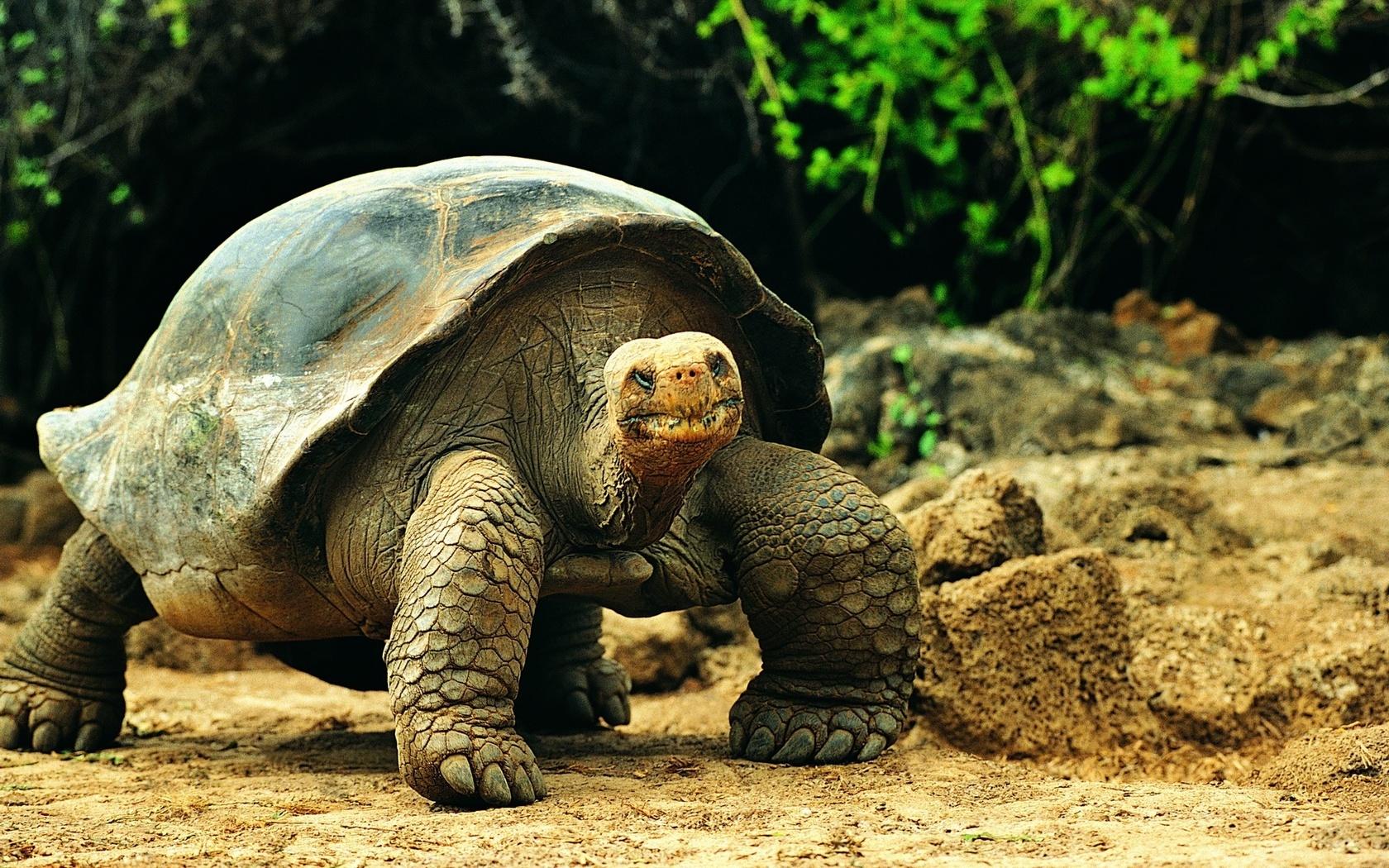 черепаха, довольная морда, здоровый панцирь