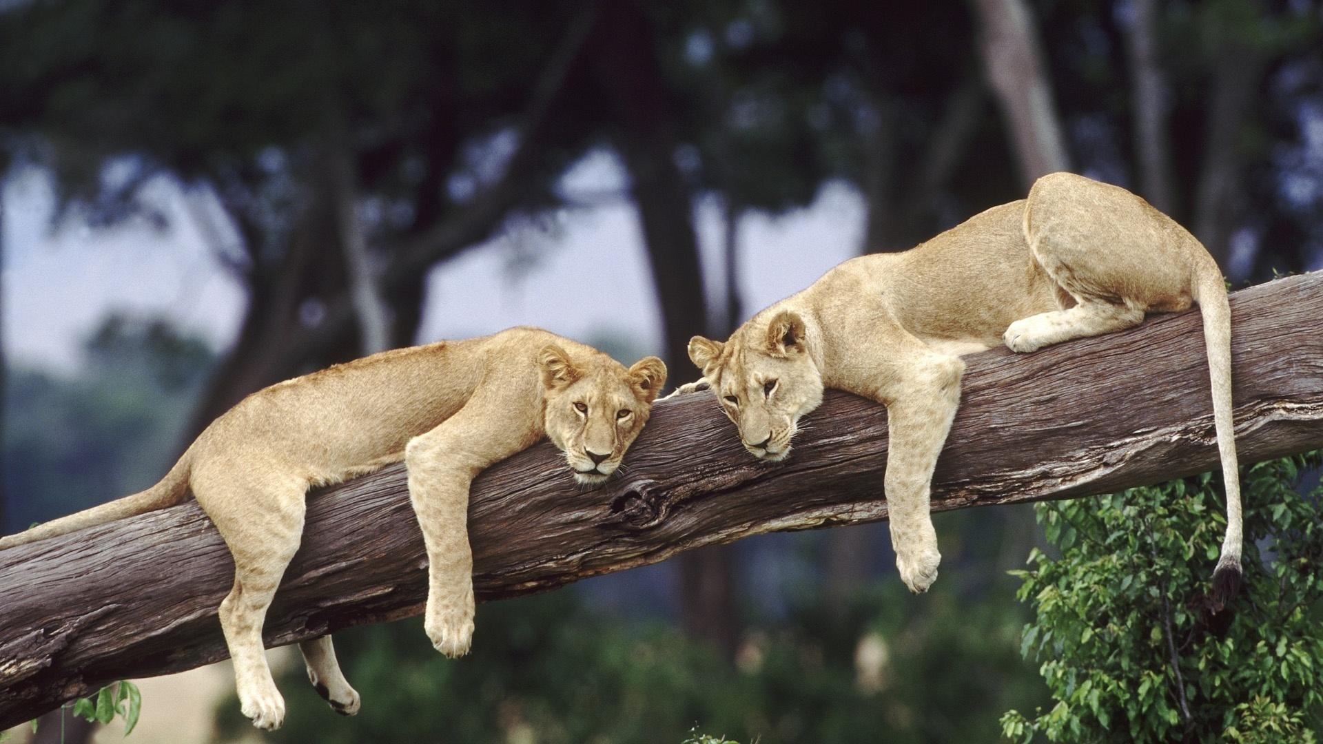 отдых, львы на дереве, бежево серого цвета