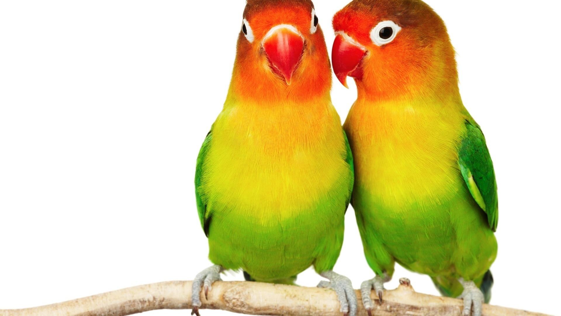 попугайчики, разноцветные, сидят на веточке