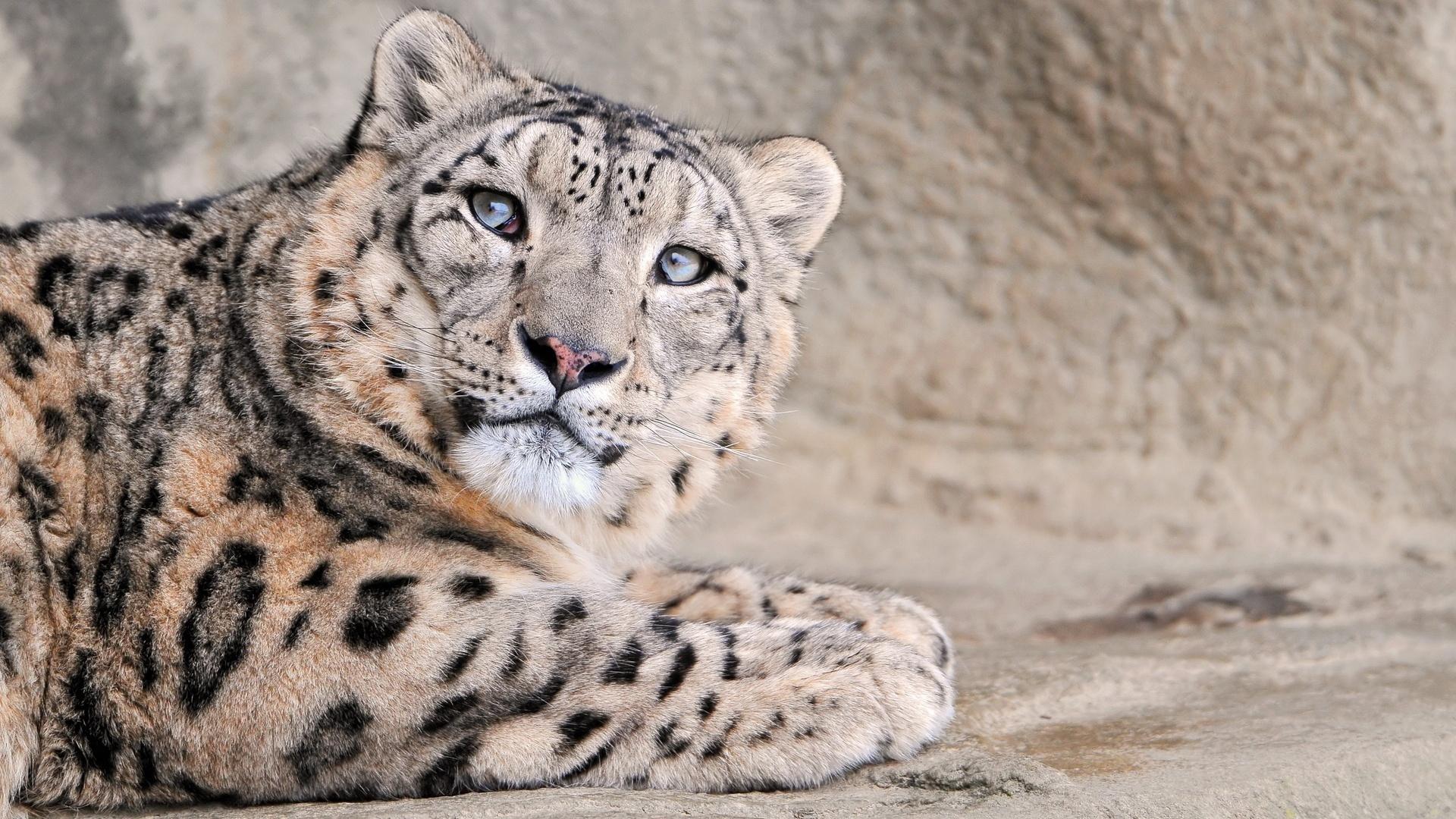 леопард, дикий взгляд, белый красавец