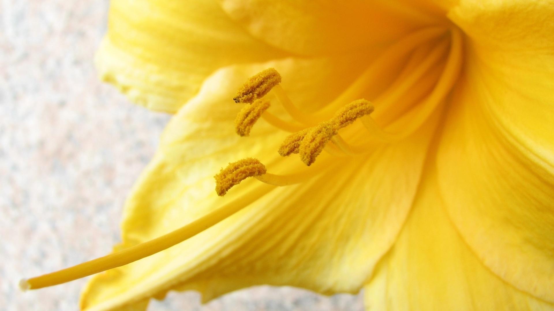 макро, стрелка, цветок, жёлтый, пыльца, усики