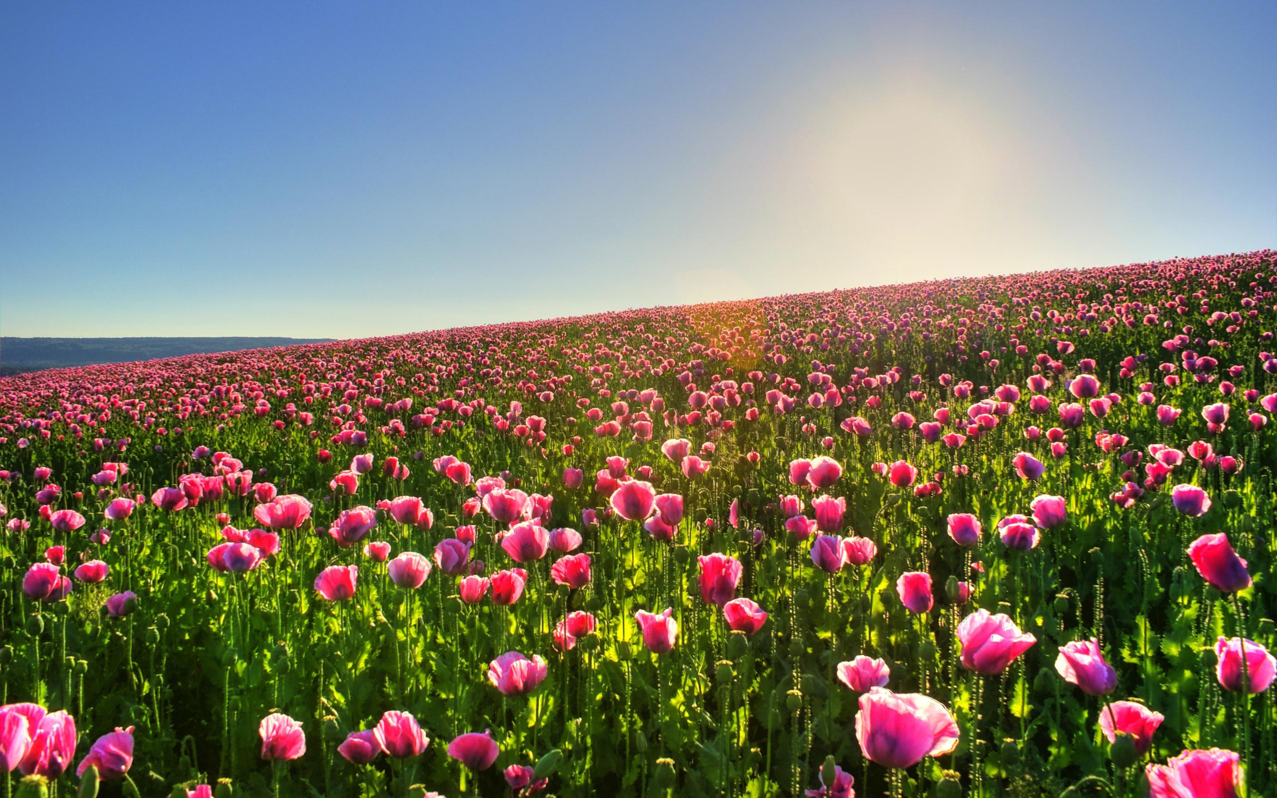 цветы, фото, обои, природа, поле, солнце, красивые картинки