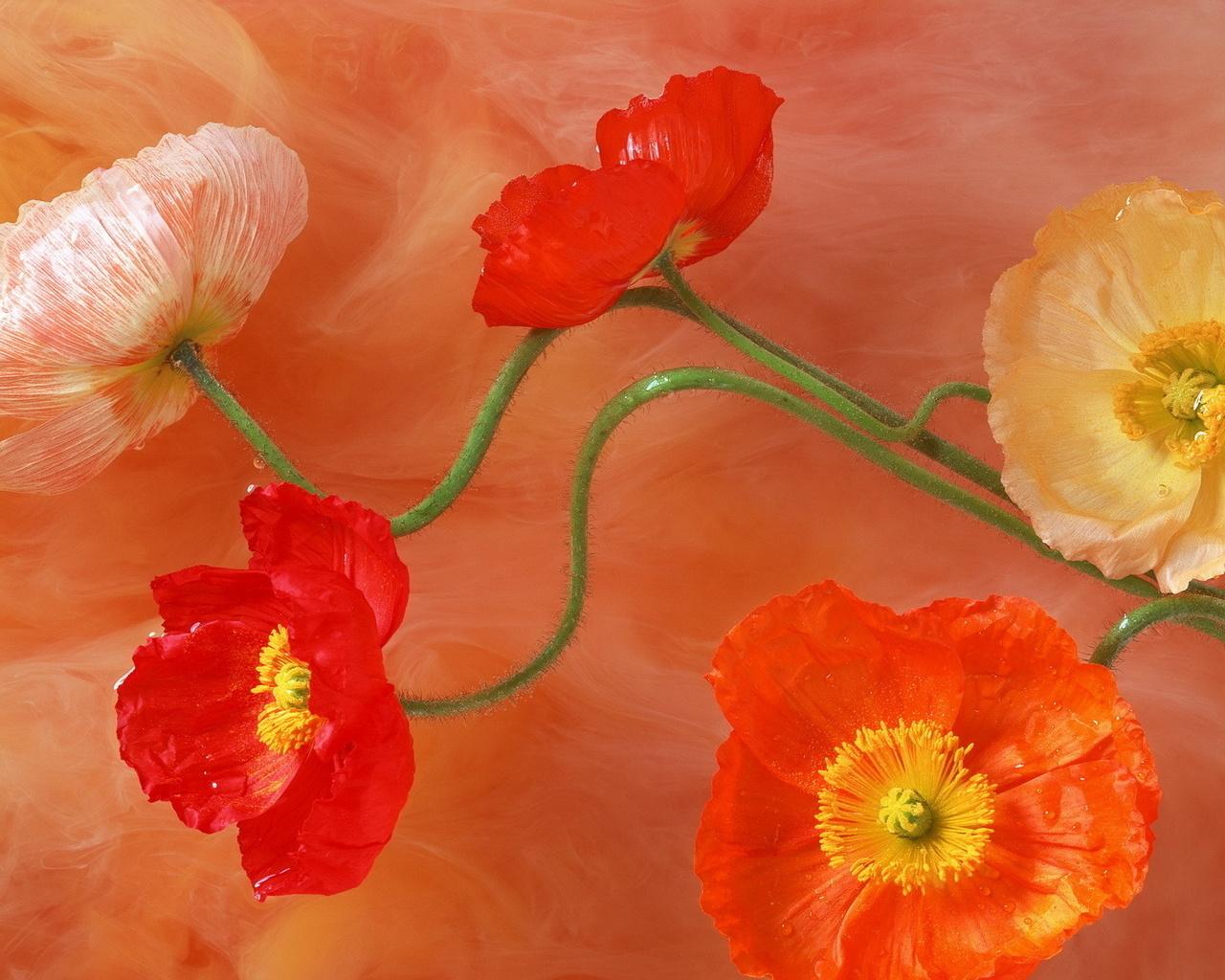 Рисунок, цветы, маки, стебель, лепестки, серединки, цвета, краски, яркость