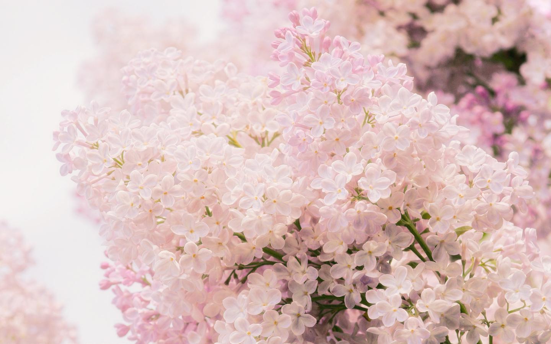 весна, цветы, Сирень, макро, нежность, розовый