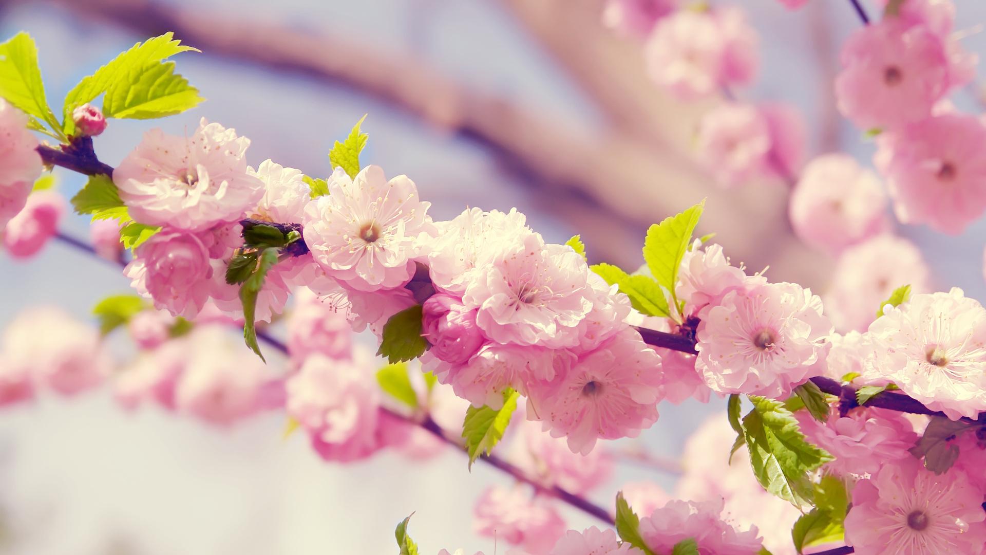 весна, Сакура, цветы, лепестки, вишня.ветка, цветение