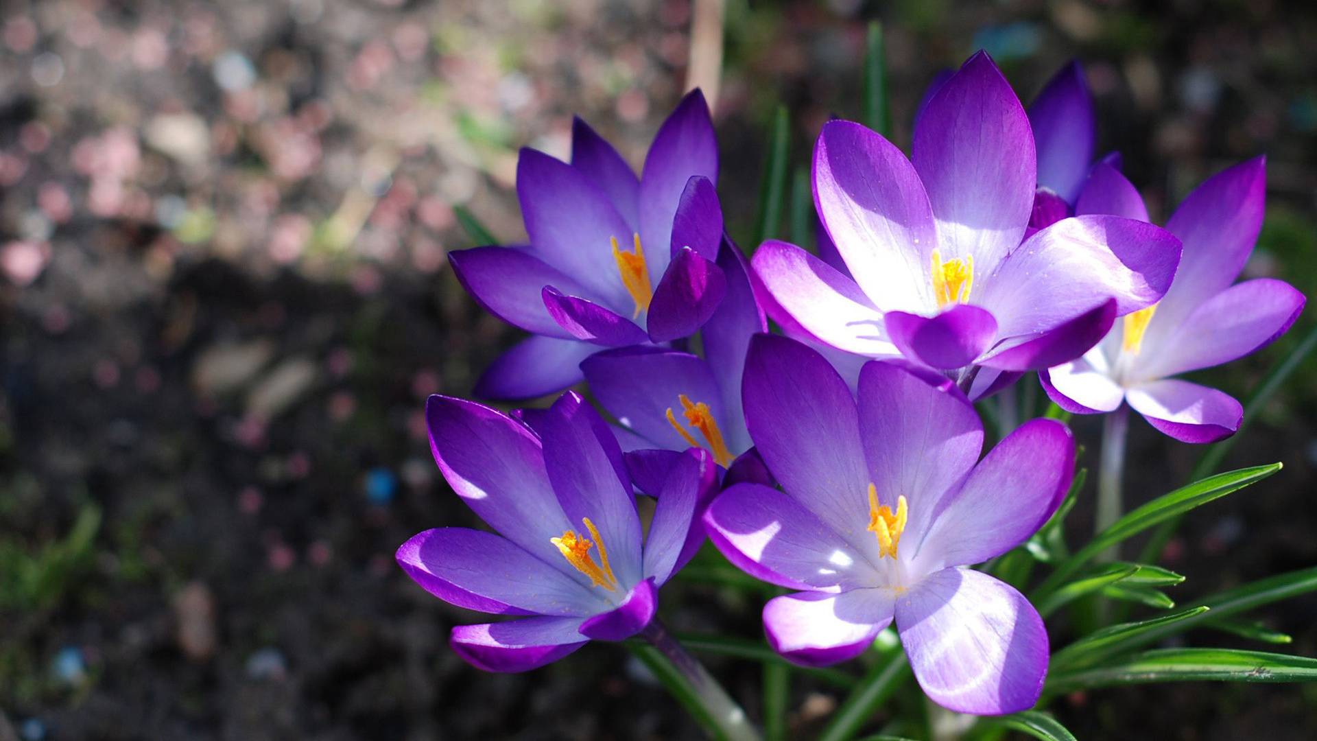 Крокусы, первоцвет, цветы, букет, природа, весна, макро