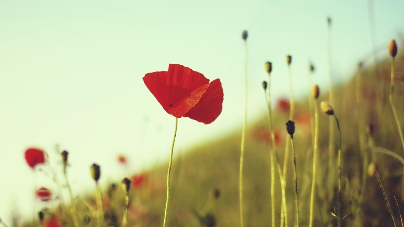 поле, трава, стебли, цветок, Мак, растения, красный