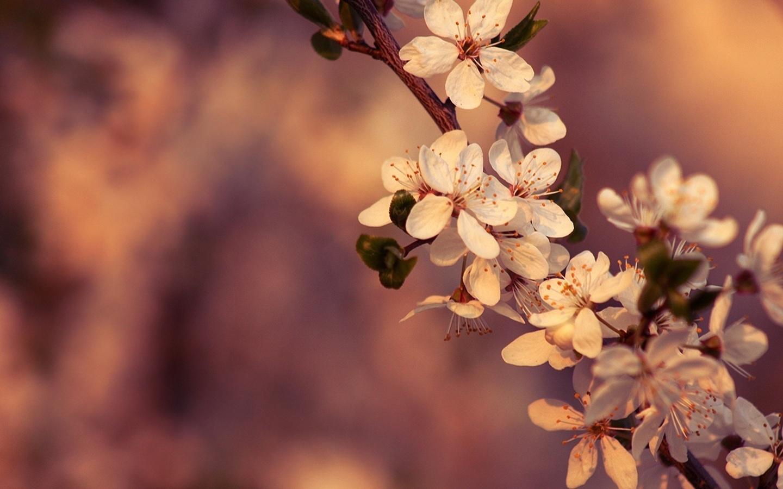 цветение, цвет, вишня, цветы, весна, Ветка, макро