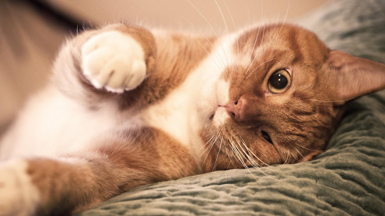 нос, Кот, прищурил глаз, лапы, рыжий