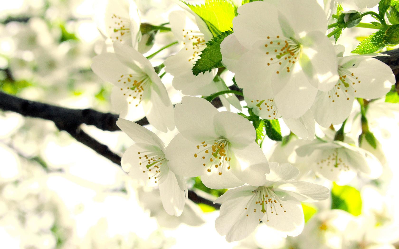 цветение, Яблоня, бутоны, ветка, листья, белые, весна