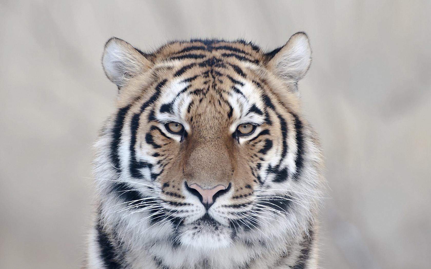 взгляд, Тигр, кошка, очарование