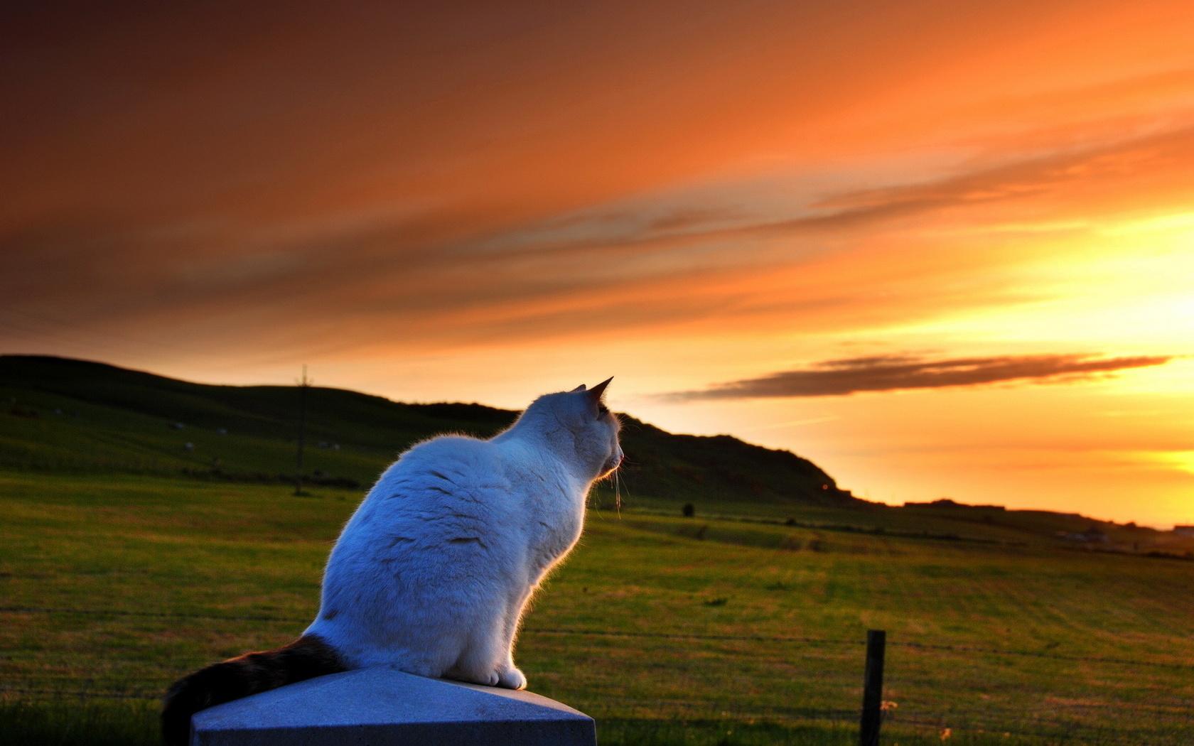 природа, Кошка, вечер, закат
