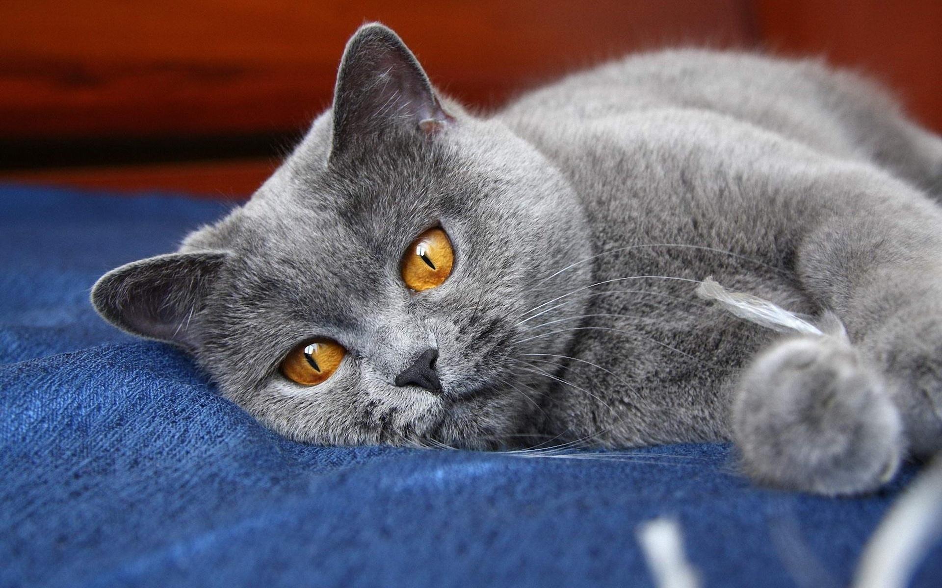 Смешные коты британцы картинки, открытку