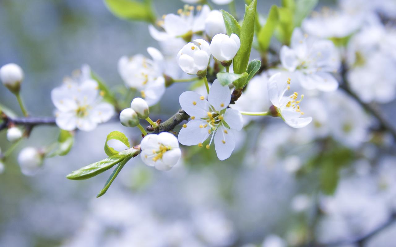 белые, ветка, цветы, Яблоня, бутоны, лепестки, цветение