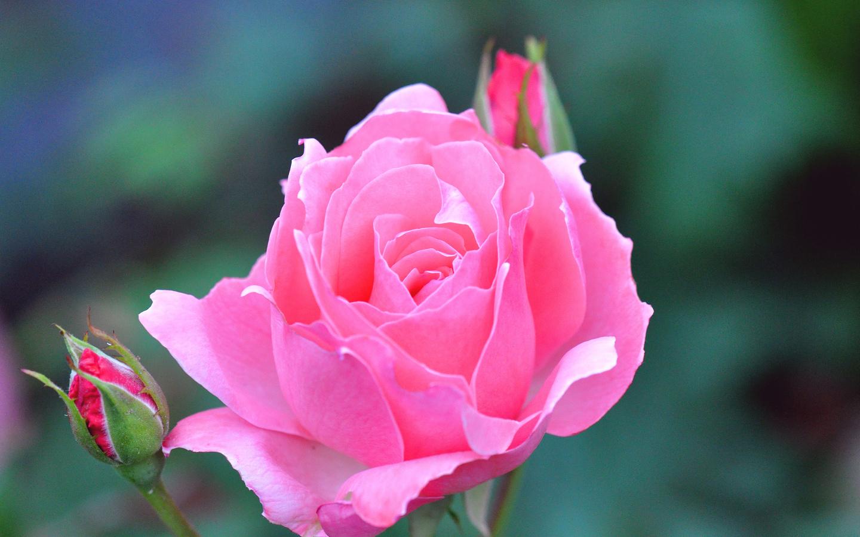 Картинки розы живые обои