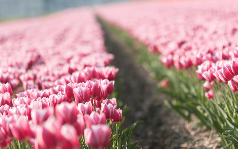 цветы, Тюльпаны, тюльпан, бутоны, tulips, весна, плантация